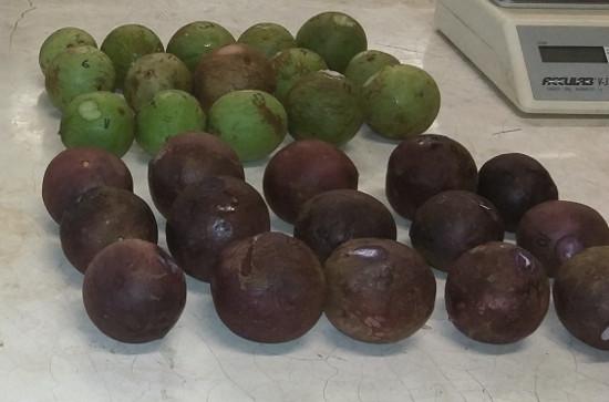 Frutos verdes y maduros de caimito. Foto: P. Lema F.