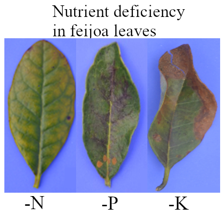 N-P-K nutrient deficiency in feijoa (pineapple guava) leaves using the missing element method. Photos: S. Buitrago