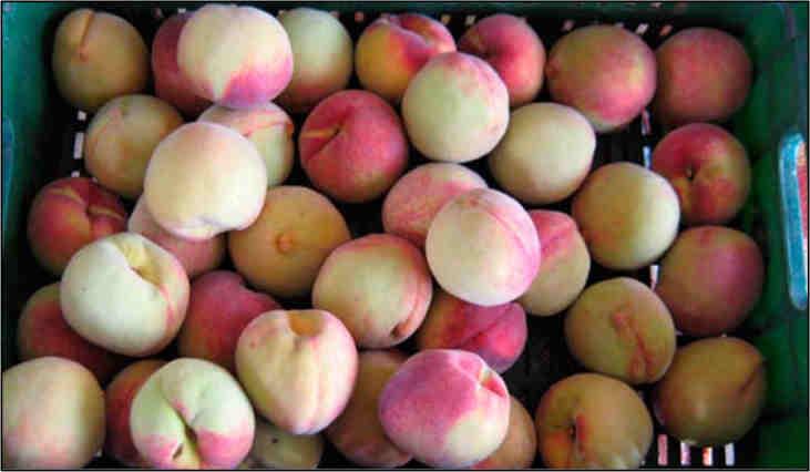 Peach fruits cv. Dorado. Photo: G. Fischer